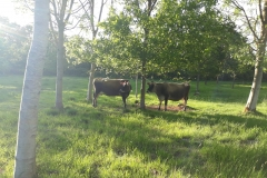 Low carbon cows