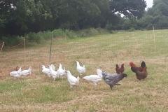 Hens Grazing